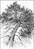 CRIMEAN PINE-TREE (EN-PLEIN-AIR SKETCH)