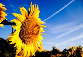 Sunflowers by nellusatko