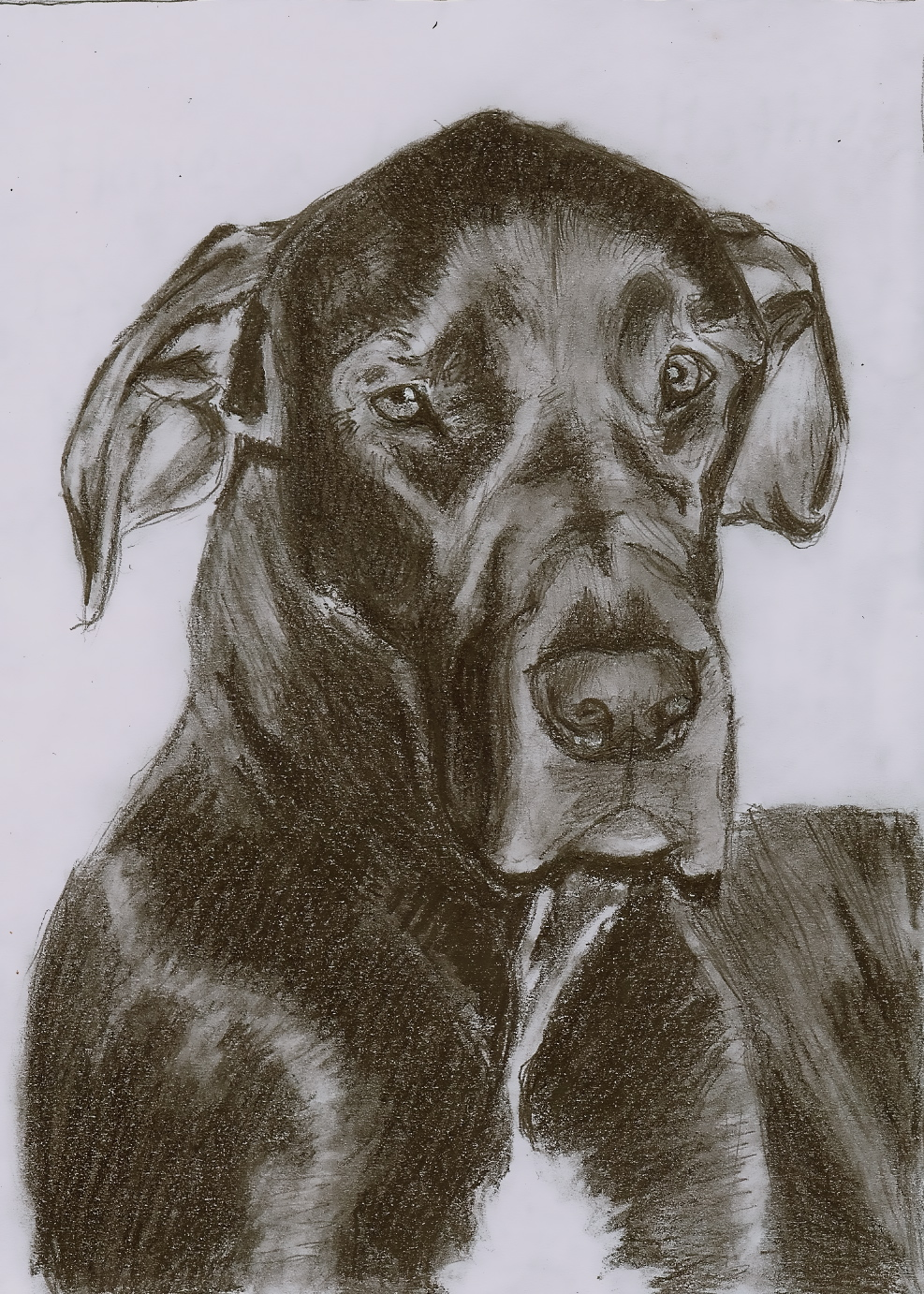 Christiancowgirl116 Sketch Of My Great Dane By Christiancowgirl116