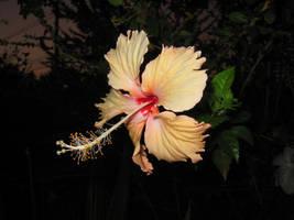 Surathani Flower by PeterZen