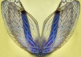 Stock Photo - Insect Wings