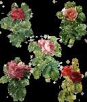 Rose Set (5) PNG