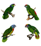 (4)Green_Parrot PNG