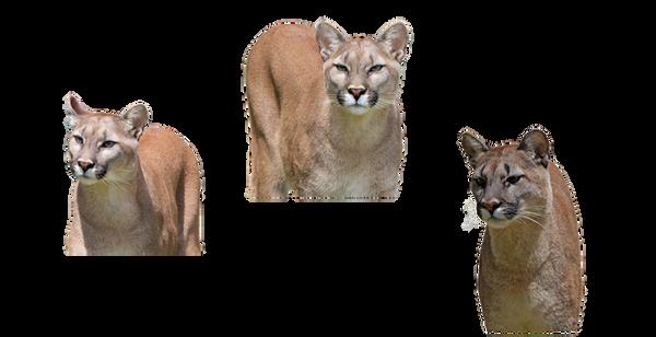 Cougar Trio by chaseandlinda