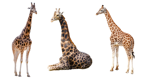 Giraffe Trio 2 PNG by chaseandlinda