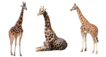 Giraffe Trio 2 PNG