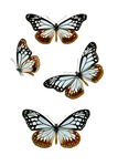 1800's Insects 15 PNG