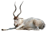 Addax-Antelope-PNG