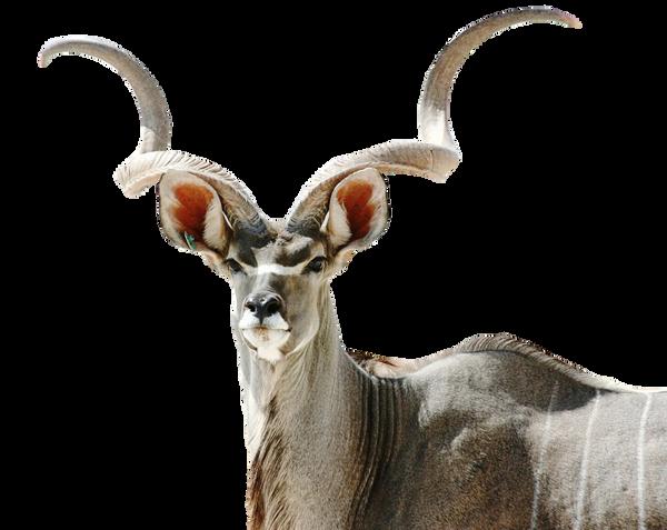 Kudu Antelope PNG by chaseandlinda on DeviantArt