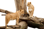 Two Lions on a tree PNG