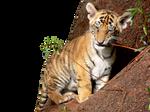 Tiger Cub PNG