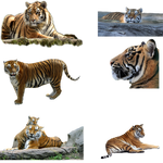 Tigers-PNG