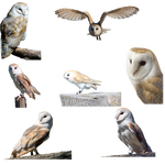 Owls-PNG