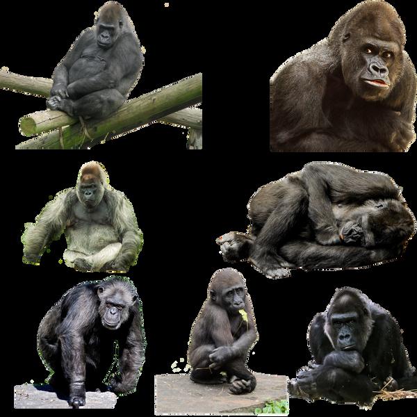 Gorilla 2 PNG by chaseandlinda