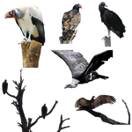 Vultures 4 PNG