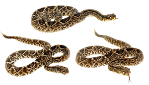 Snakes-PNG
