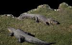 Alligators-2-PNG
