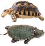 Turtle-PNG
