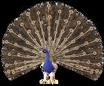 Peacock 2 PNG