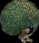 Peacock-PNG