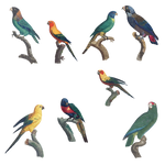 Variety of Parrots PNG