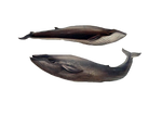 1800's Whales 3 PNG