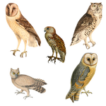 Variety of Owls PNG