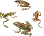 Variety of Frogs PNG