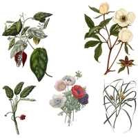 Variety of 1800's Flowers 4 PNG