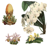 Variety of 1800's Flowers 5 PNG