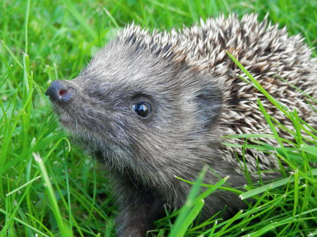 Hedgehog: Nose up! by Miss-Feisty on deviantART