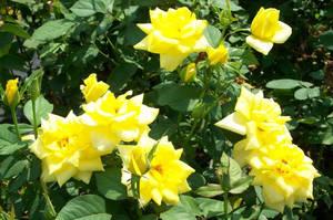 Yellow Roses by DigitalVampire107