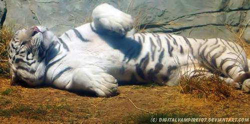 White Tiger - Chilling in the Sun by DigitalVampire107