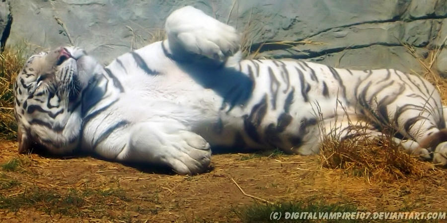 White Tiger - Chilling in the Sun