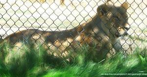 Pretty Lioness by DigitalVampire107