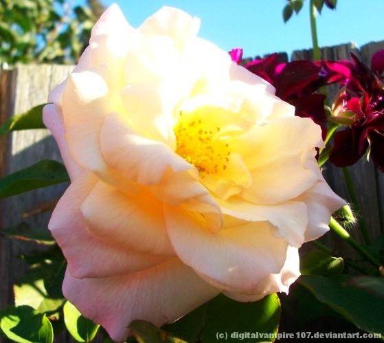 Sunny Rose by DigitalVampire107