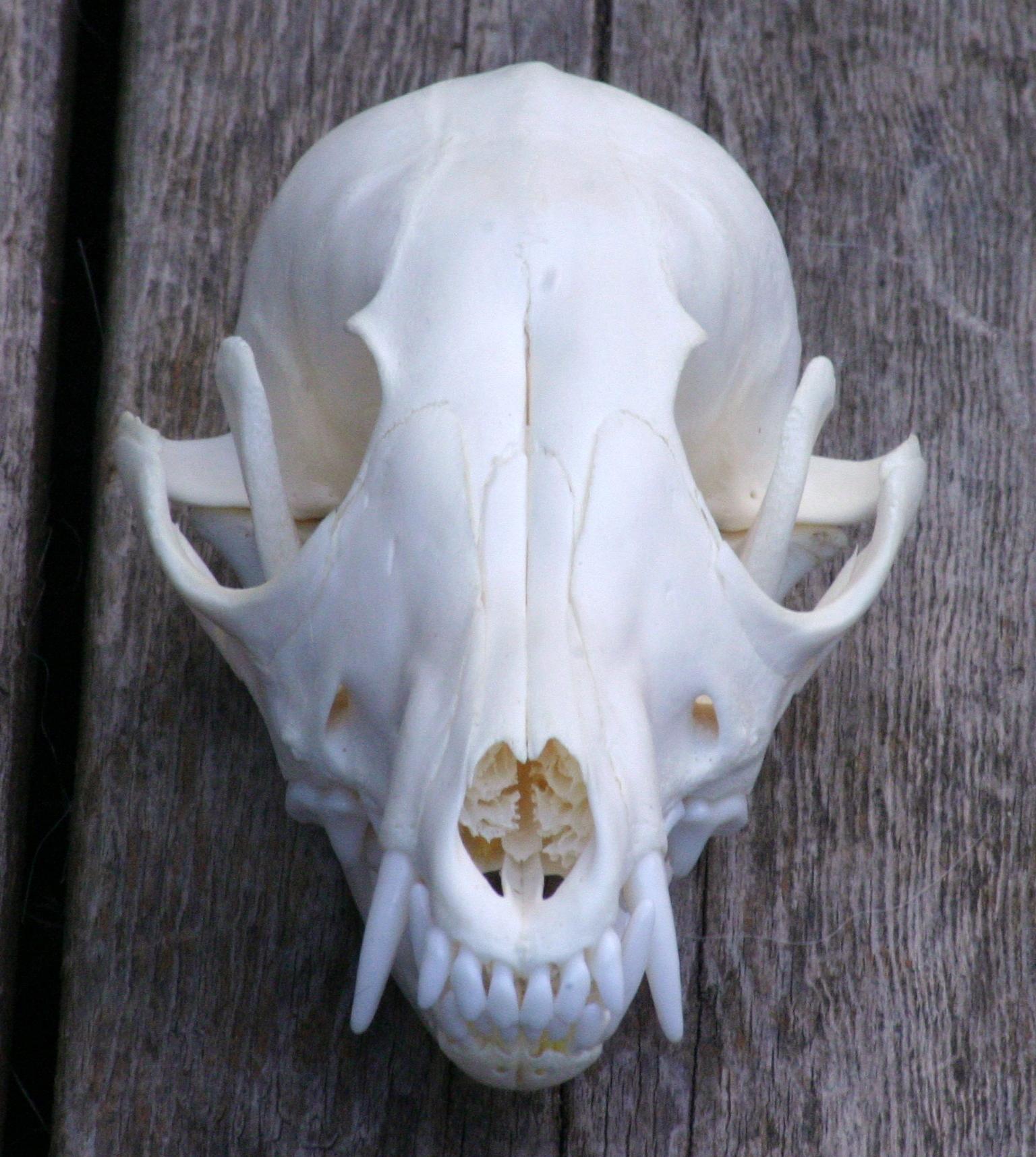 grey fox skull by fenrirschild on DeviantArt