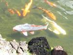 Koi Fish4 by Juicythepear
