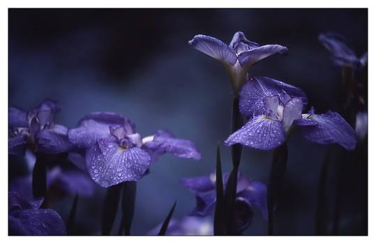 iris.christchurch