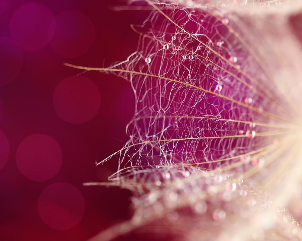 Pink Dandelion by cblue