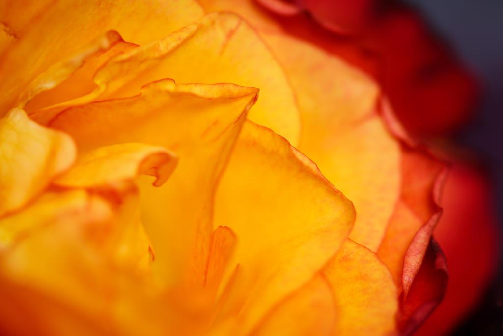 Rosy folds by cblue