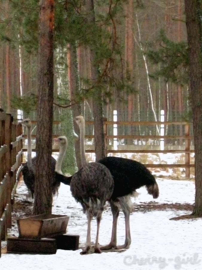 Belovezhskaya Pushcha (Forest). Ostriches. by cherrygir1