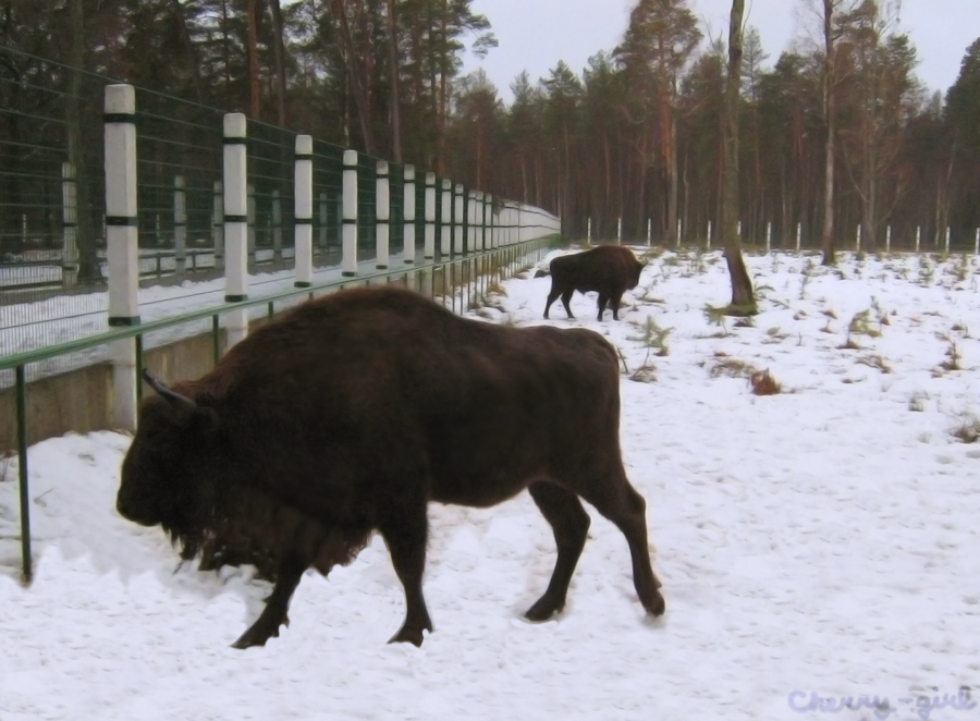 Belovezhskaya Pushcha (Forest). Bison. by cherrygir1