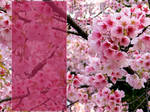 Cherry blossoms, pink