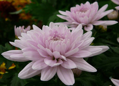 Pink Mum Flower Floral Stock