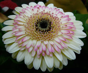 Gerbera Flower Reference Stock