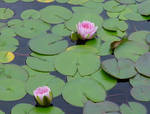 Lilly pad pond flower stock