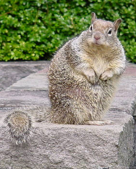Cute Fat Squirrel Animal Stock