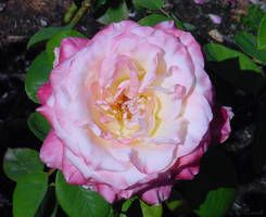 Pink Rose Flower Photograph by Enchantedgal-Stock
