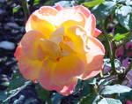 Rose Garden Flower Stock